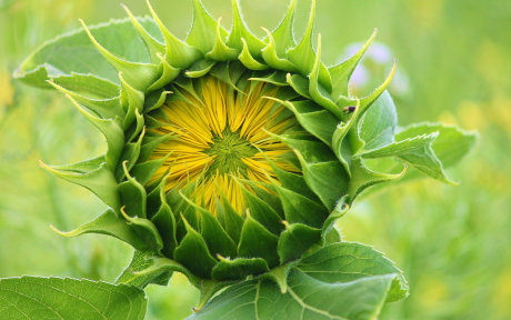 Sunflower Budding